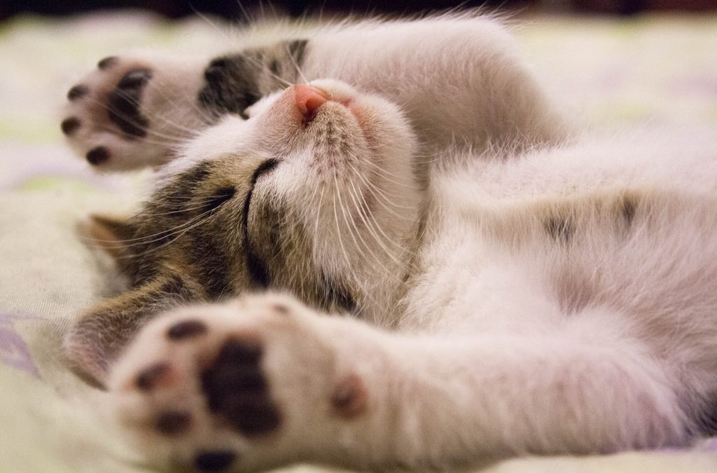 CBD Oil For Cats, What It Can Help With